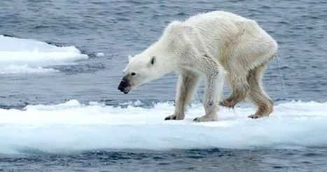 #FF Shocking Polar Bear Photos Show Stark Reality of #Climate Change #extinction Thx to #Mankind #politicians #greed | Messenger for mother Earth | Scoop.it