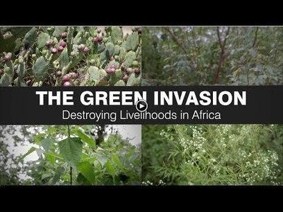 Green Invasion: how invasive alien plants are destroying livelihoods in Africa   Pests on videos   Scoop.it