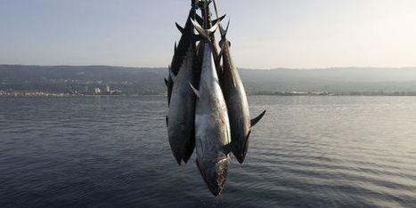 Greenpeace «nettoie» les supermarchés des boîtes de thon Petit Navire | décroissance | Scoop.it