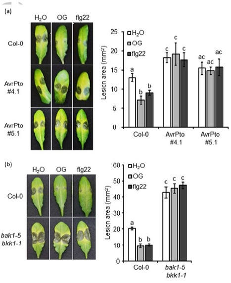Immune responses induced by oligogalacturonides are differentially affected by AvrPto and loss of BAK1/BKK1 and PEPR1/PEPR2 - Gravino - Molecular Plant Pathology - | Plant-Microbe Interaction | Scoop.it