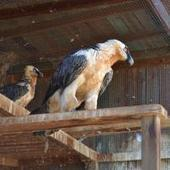 Un quebrantahuesos del Zoo de Barcelona pasa el verano en Lleida - Lainformacion.com | Agrobrokercommunitymanager | Scoop.it