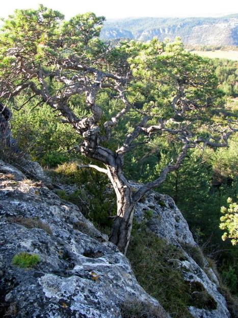 Le pin sylvestre dans son milieu naturel | Bonsai365 | BONSAI365 | Scoop.it