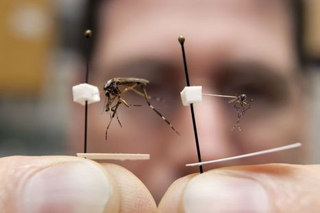 UF Researcher: Mega mosquitoes set to invade Central Florida (VIDEO) | The Billy Pulpit | Scoop.it