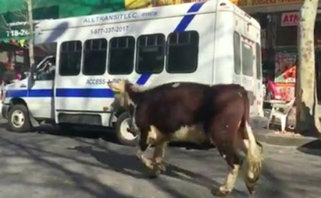 After a Daring Escape from a Slaughterhouse, This Runaway Cow is Finally Safe | Care2 Causes | This Gives Me Hope | Scoop.it