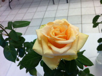 The Indianapolis RoseShow | Grown Green Gardens | Scoop.it