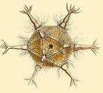 Proteus: How Radiolarians Saved Ernst Haeckel | The Artful Amoeba, Scientific American Blog Network | Erba Volant - Applied Plant Science | Scoop.it
