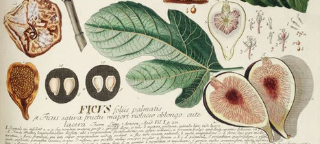 Importance of the humble fig to humankind : Archaeology News from Past Horizons | Archaeology News | Scoop.it