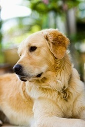 Fighting Breed-Related Diseases « Tales from the Pet Clinic | Dog Training - Mark Mendoza | Scoop.it