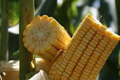 Mexico/Tamaulipas: Tecnologia Permite Aumento En Produccion De Maiz | Maíz | Scoop.it