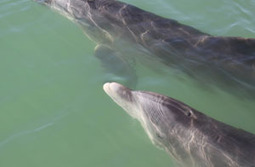 Dolphin Watch - Maybe not rattled by the rescue : Outdoors & Recreation - Tampa Bay Newspapers | Dolphins | Scoop.it