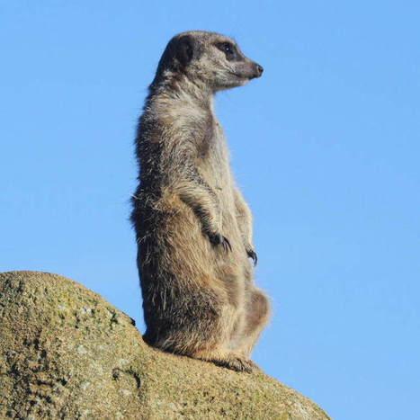 Meerkat   Meerkats   Scoop.it