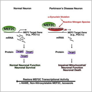 Cell - Isogenic Human iPSC Parkinson's Model Shows Nitrosative Stress-Induced Dysfunction in MEF2-PGC1α Transcription | Neuroscience: Parkinson's disease | Scoop.it