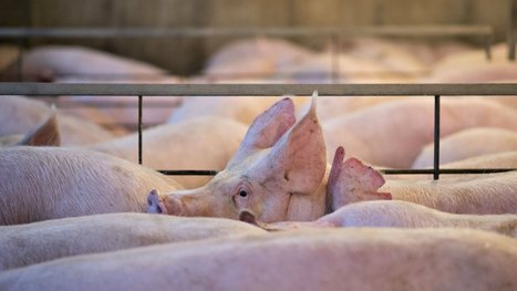 Why the heck are there pig farms in the path of hurricanes? | Sustain Our Earth | Scoop.it