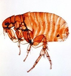 I've heard that flea is really the strongest animal, is it really true? | onlinepetanswers | Scoop.it