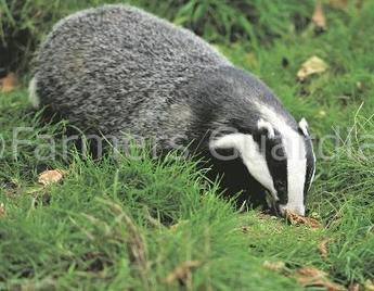 Defra Ministers attack Labour over badger cull stance | News | Farmers Guardian | Bovine TB, badgers and cattle | Scoop.it