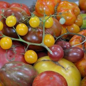 Rainbow Tomato 6 pack-Store.underwoodgardens.com | Permaculture, Horticulture, Homesteading, Bio-Remediation, & Green Tech | Scoop.it