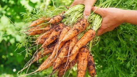Comment lutter contre la mouche de la carotte ? | Les colocs du jardin | Scoop.it