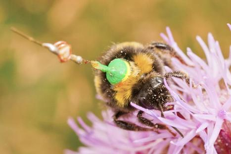 Radar tracking reveals the 'life stories' of bumblebees as they forage for food   Gaia Diary   Scoop.it