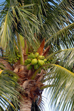 Healing Benefits of Coconut Palm Sugar | nutrition for the elderly | Scoop.it
