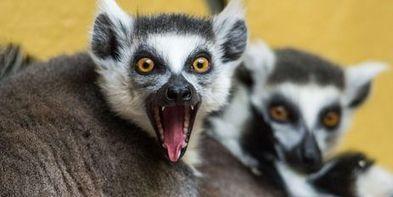 Deux nouvelles espèces de lémuriens découvertes à Madagascar   Ecologie et environnement   Scoop.it
