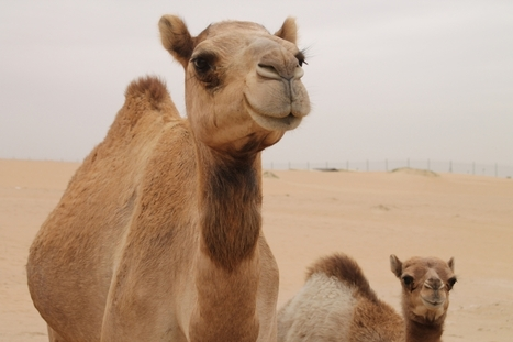 The Bible and camels - ChristianToday | Ancient History | Scoop.it