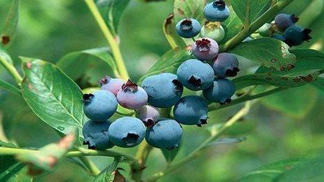How to grow blueberries / RHS Gardening | Greening your home | Scoop.it