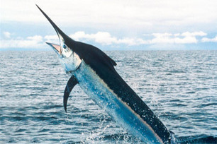 $$$$ First global assessment finds highest-grossing tunas and billfishes most vulnerable to extinction $$$$ | OUR OCEANS NEED US | Scoop.it
