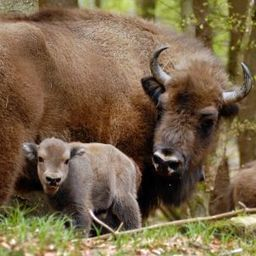 Bison Baby: First Wisent Born in German Wild - SPIEGEL ONLINE | Farming, Forests, Water & Fishing (No Petroleum Added) | Scoop.it