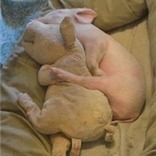 Pig Smarts | Pedegru | Animals Make Life Better | Scoop.it
