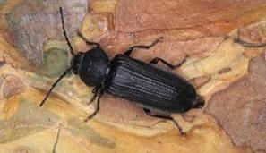 Le coléoptère longicorne Asemum striatum : une nouvelle espèce pour quatre départements du Massif armoricain | EntomoNews | Scoop.it
