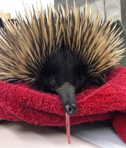 A prickly patient for UQ Veterinary School OzTREKK – Study in Australia | Study in Australia | Scoop.it