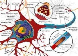 Ciencia: El cerebro se reconecta a sí mismo después de daños o lesiones | Fundamentos, Innovación y Estrategias para el Aprendizaje | Scoop.it