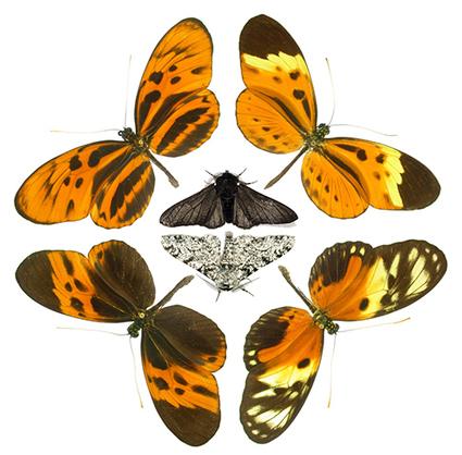 Un même gène rend les papillons de jour colorés et les papillons de nuit camouflés   EntomoNews   Scoop.it