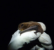 Bat's sea crossing is first from UK to mainland Europe | Sustain Our Earth | Scoop.it