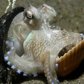 Octopuses Gain Consciousness (According to Scientists' Declaration) | Octopus Chronicles, Scientific American Blog Network | Agua | Scoop.it