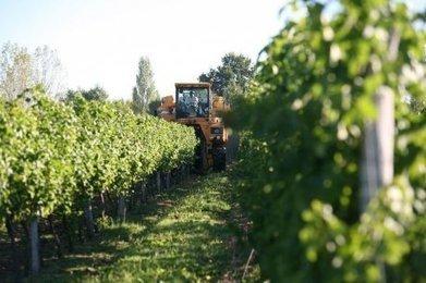 Dans le Cognaçais, les vendanges de sauvignon blanc ont commencé   Actualités du Cognac   Scoop.it