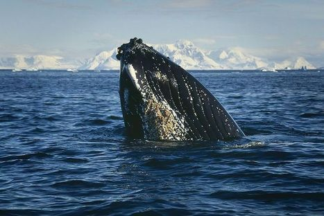 #HumpbackWhales Are #Starving ~ Main #FoodSourceDeclines !!! #Krill the species #overfished !!! | Rescue our Ocean's & it's species from Man's Pollution! | Scoop.it