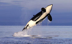Despite decade of protection, resident orcas still in trouble | Sustain Our Earth | Scoop.it