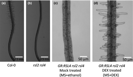 ROOT HAIR DEFECTIVE SIX-LIKE4 (RSL4) promotes root hair elongation by transcriptionally regulating the expression of genes required for cell growth - Vijayakumar - 2016 - New Phytologist - | Plant roots and rhizosphere | Scoop.it