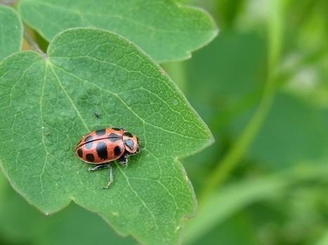 Photos de coccinelles : Coccinelle maculée - Coleomegilla maculata - Pink spotted Lady Beetle | Fauna Free Pics - Public Domain - Photos gratuites d'animaux | Scoop.it