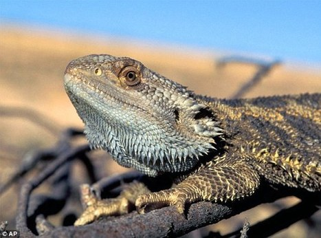 #Climate change is causing bearded DRAGONS to change gender in #Australia | Messenger for mother Earth | Scoop.it