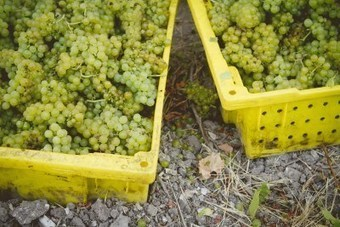 Wine Grapes Cheat Sheets:  Chardonnay | Wine Talk | Scoop.it