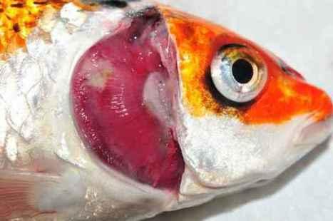 Nuevo tipo de simbiosis: bacterias comen amoniaco en las branquias de los peces | adn-dna.net: cajón de sastre | Scoop.it