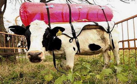 Los gases de las vacas contaminan nuestro planeta (por Iohanna Küppers) | None | Scoop.it