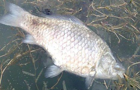 Les poissons d'eau douce ont plus à craindre de la pollution que du changement climatique | Toxique, soyons vigilant ! | Scoop.it