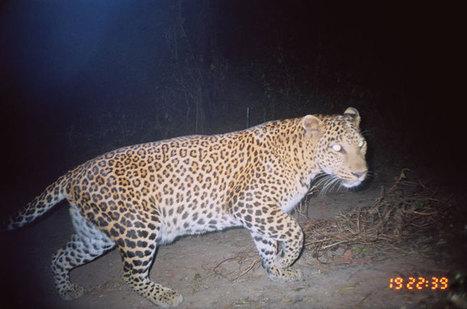 Backyard Leopards - Conservation | Conservation Success | Scoop.it