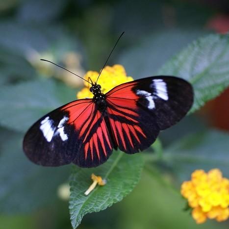 Heliconius sp. - Heliconius non identifiés - Serre à papillon - Volière à papillon - Papillons exotiques | Fauna Free Pics - Public Domain - Photos gratuites d'animaux | Scoop.it