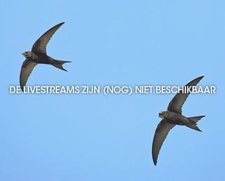 Gierzwaluw - Beleef de Lente | Gierzwaluwen | Scoop.it
