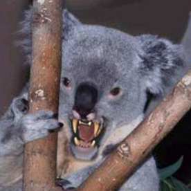 Drop bears target tourists, study says | Around the World in One Semester- Geography 200 | Scoop.it