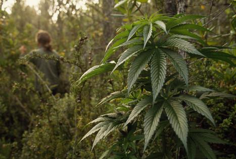 Pot Pollution Often Too Dangerous To Fix   marijuanas   Scoop.it